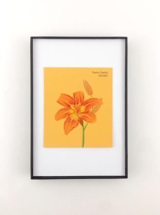 tawny daylily framed