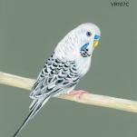 dusky parakeet623
