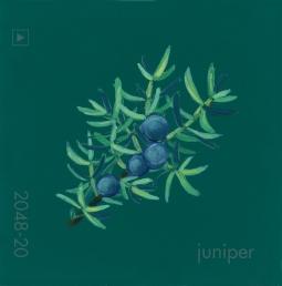 juniper571