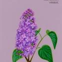 lilac blossom711