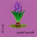 purple hyacinth692