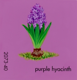 purple hyacinth692