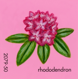 rhododendron720