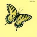 swallowtail327