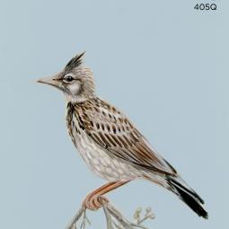 lark wing781