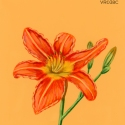 tawny daylily917