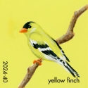 yellow finch891