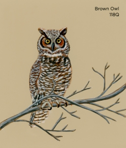 brown owl007