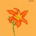tawny daylily057