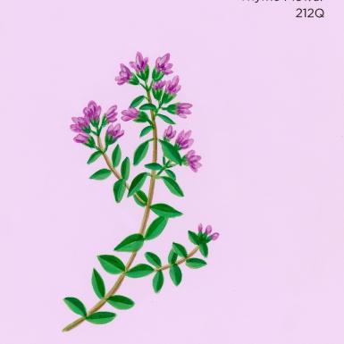 thyme flower116