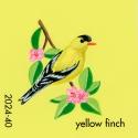 yellow finch175